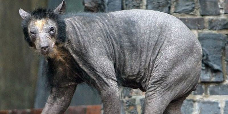 Лысый медведь в зоопарке
